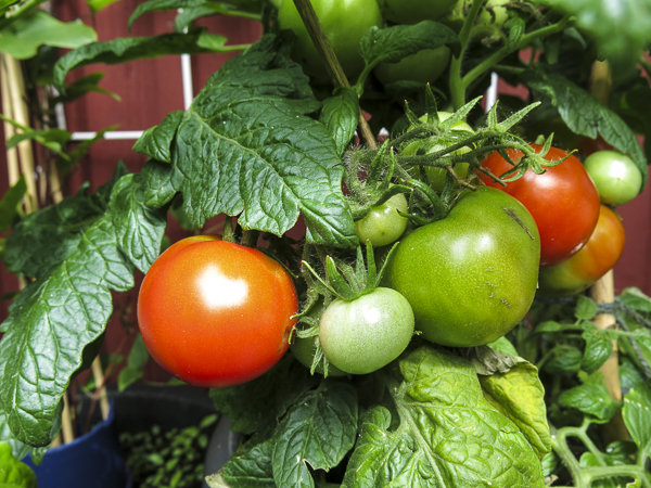 tomater, tomatoes