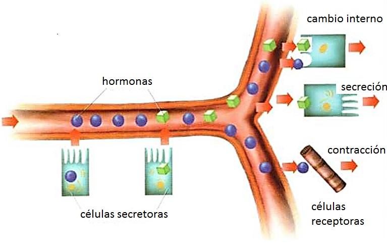 Sistema endócrino | Biología.
