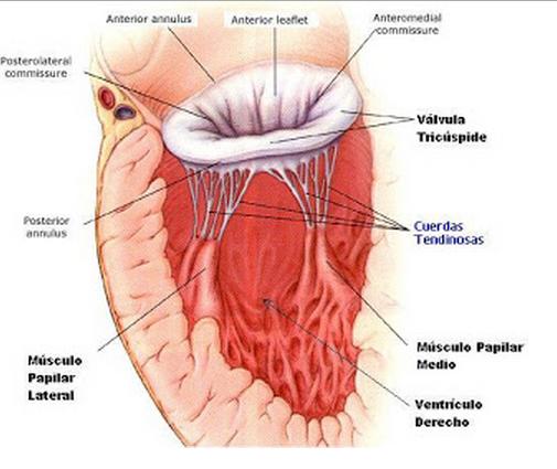 Indagando en la anatomía cardíaca!: AURÍCULA DERECHA
