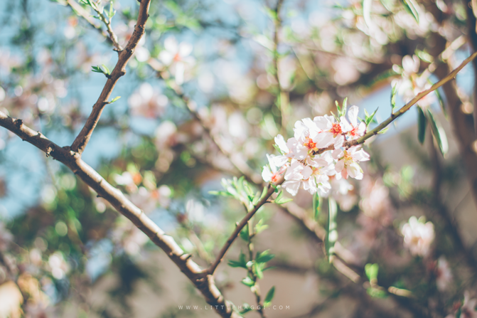 fotografia almendro flor