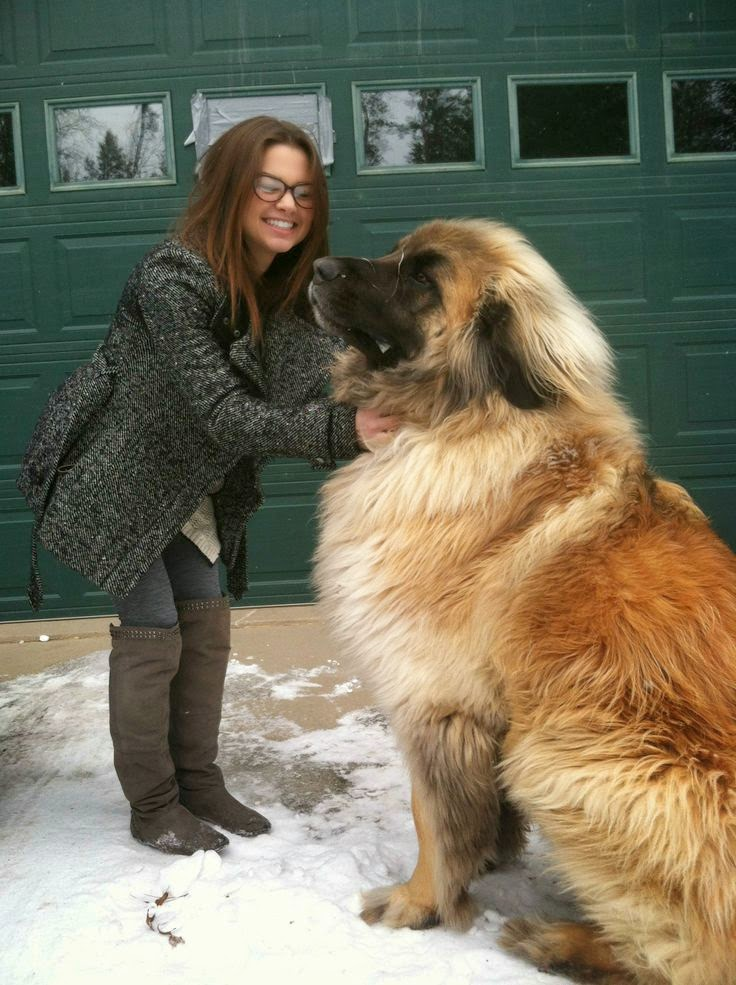Leonberger.... I love big dogs!
