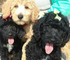 F1b Medium Double Doodles Puppies, Available Now, Great for most Allergies!