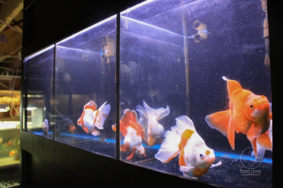 Broadtail ryukin goldfish