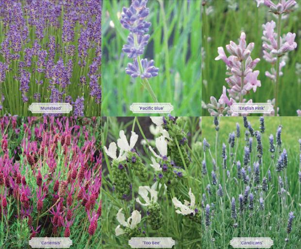 grow lavender. garden tips