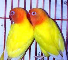 penggemar burung dan ayam pacitan harga jual lovebird
