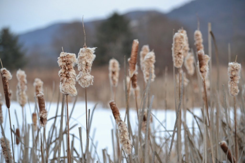 Cattails beside the pond in the winter