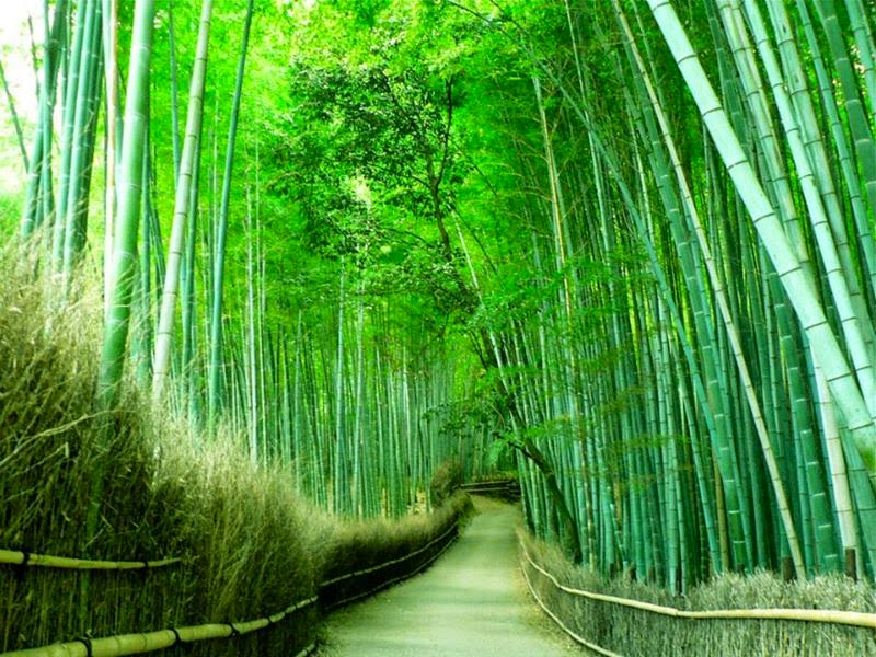 Arashiyama bamboo forest (Kyoto) Giappone