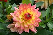 Imágenes de flores y plantas: Dalia flor dalia variedad graceland