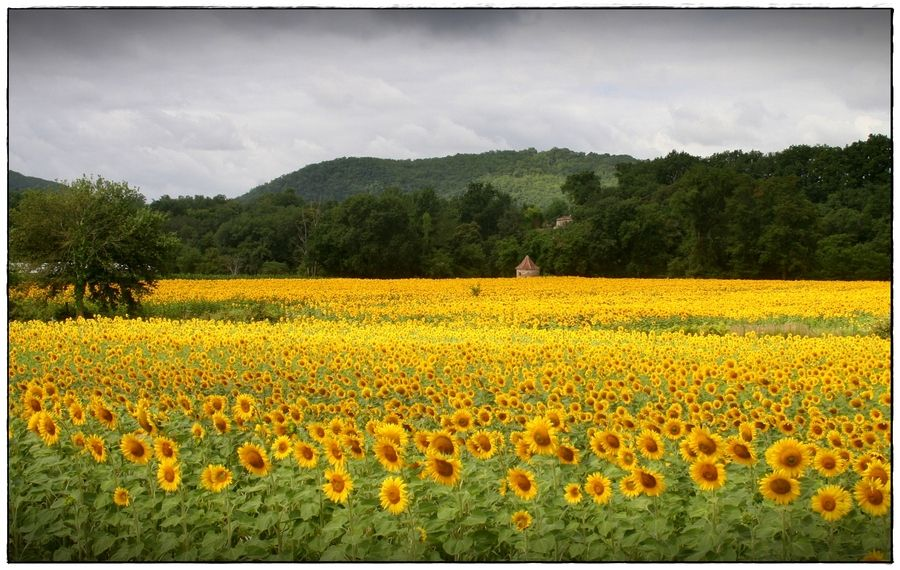 19. Sunflowers by Tom Tanghe