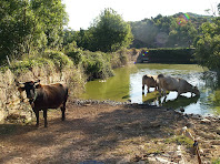 Vaques entrant a la bassa de Postius