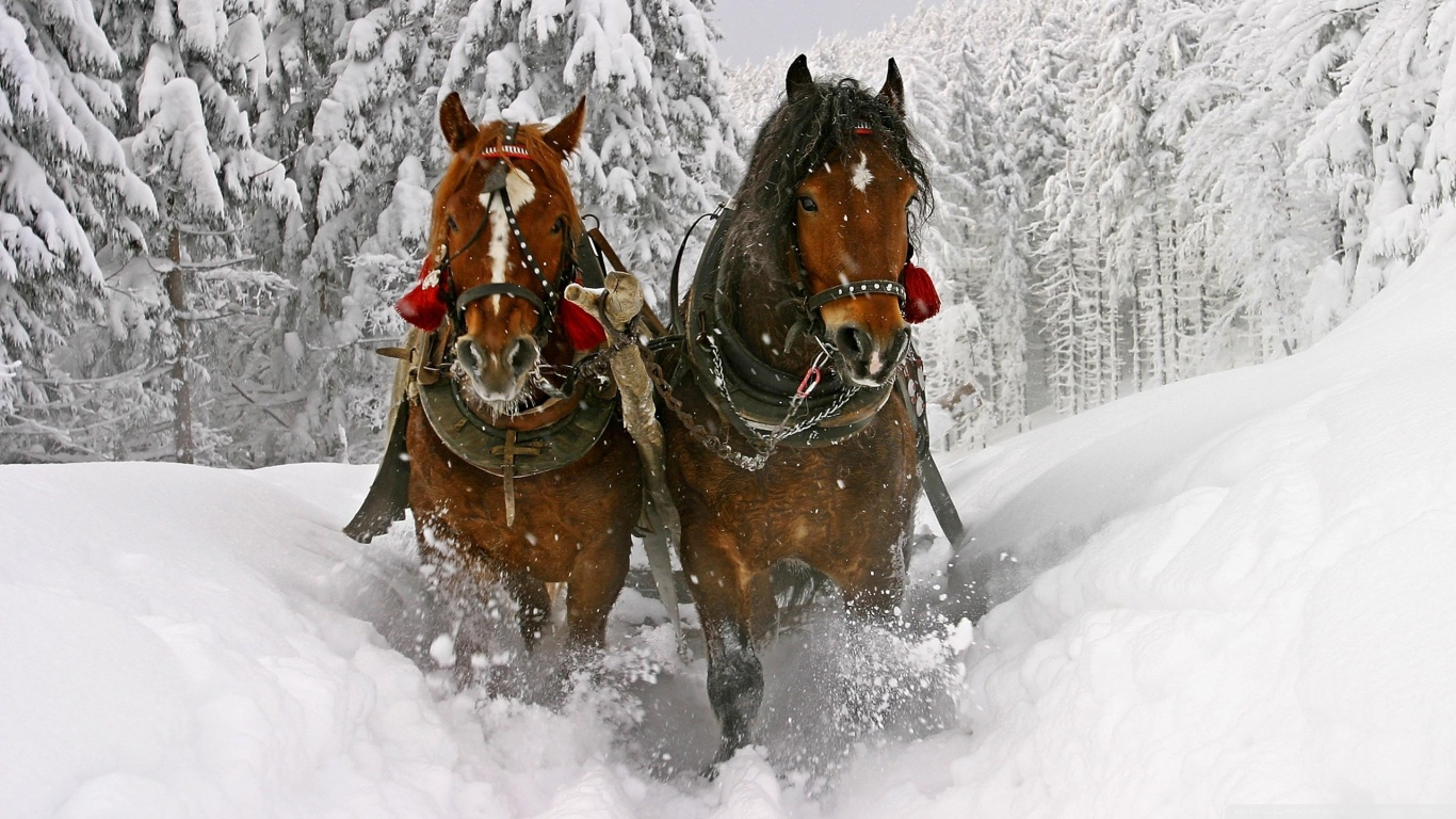 Good   Wallpaper Horse Winter - horse_drawn_carriage_in_snow-wallpaper-1366x768  Snapshot_545458.jpg