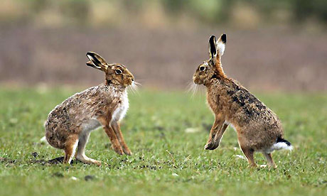 Hare vs jackrabbit - photo#19