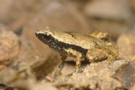 tiny rainforest frog