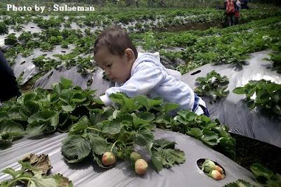 Perjalanan dan Bersantai Di Kebun Stroberi