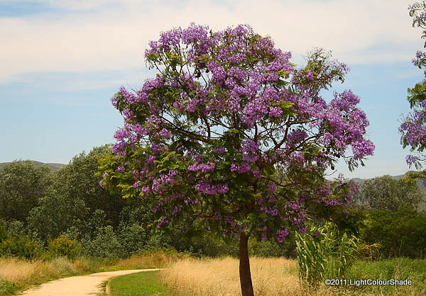 Jacaranda tree in full blossom