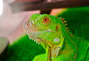 Sam the iguana. CUTE!