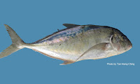 Yellowspotted Trevally
