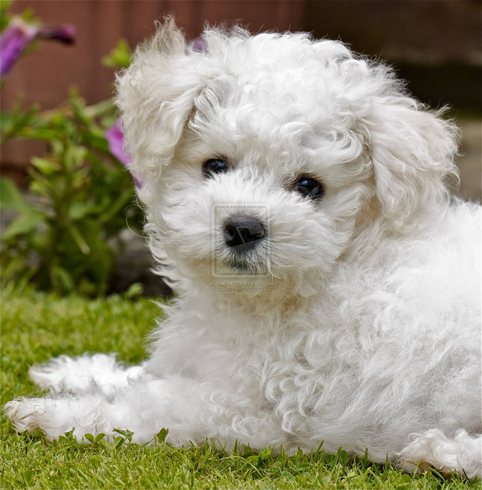 Rules of the Jungle: Bichon Frise puppies