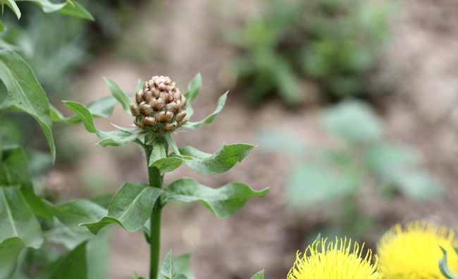 Centaurea Macrocephala Flowers