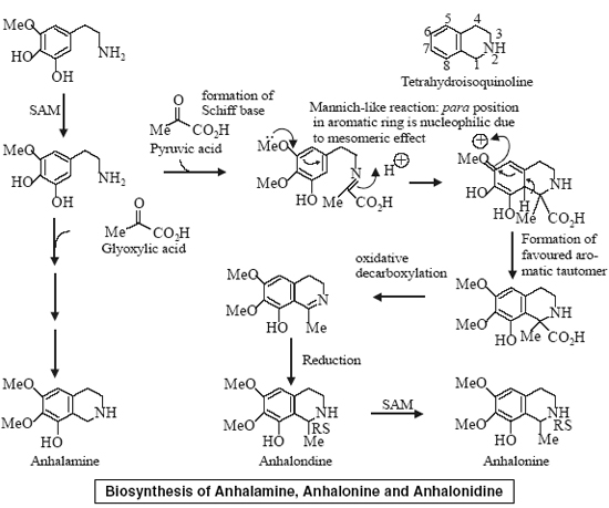 Biosynthesis of Anhalamine, Anhalonine and Anhalonidine