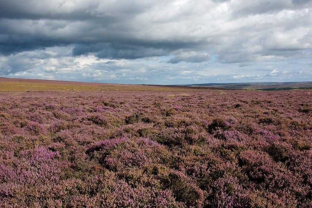 heather north