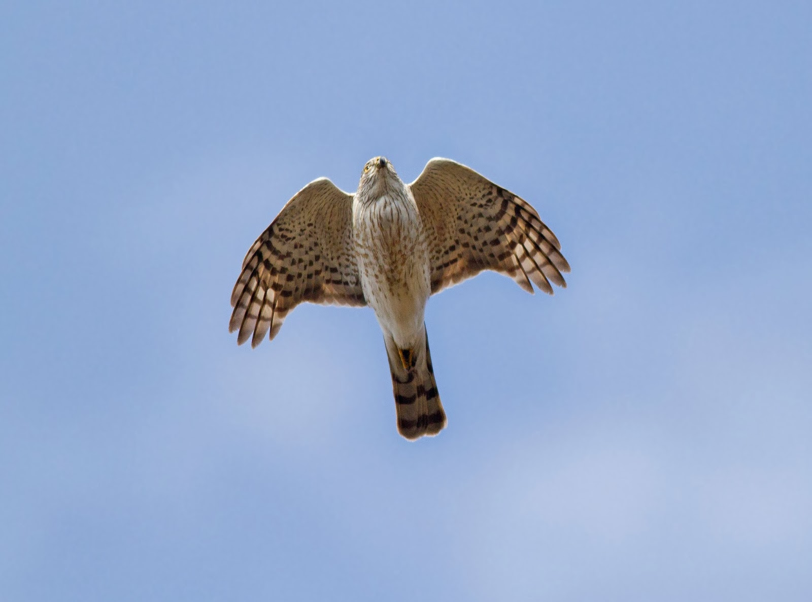 oc birder girl sharpshinned hawkaccipiter striatus