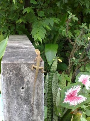 reptiles of Phuket