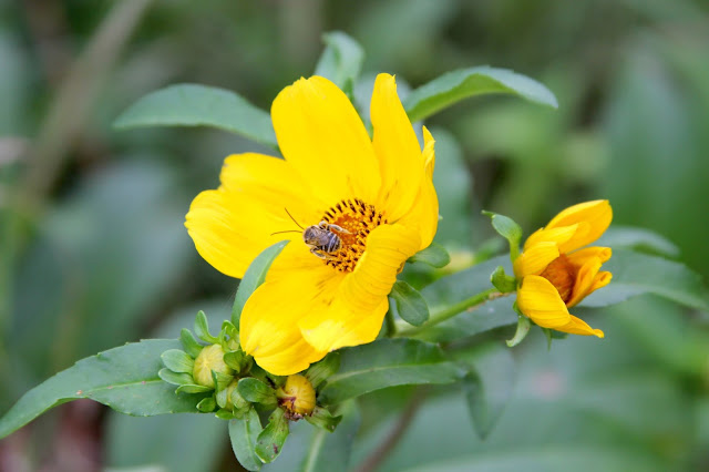 Swamp Sunflower-Brazos Bend State Park-Needville, Texas