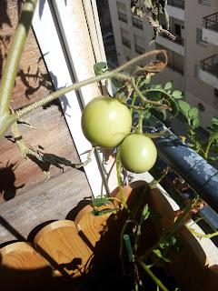 Jeunes tomates en fin de saison (ou hors saison)