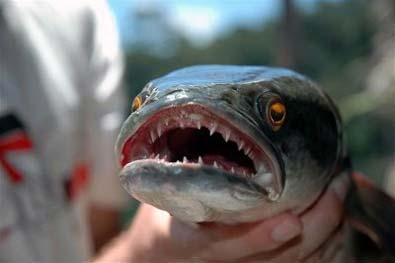 Piranha Kalah dengan Ikan Monster Indonesia ini | http://lintasjagat.blogspot.com/