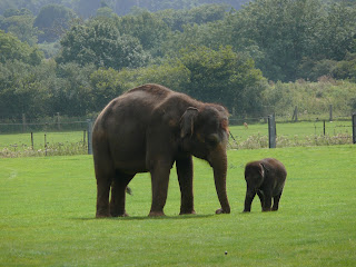 Indian Elephant and a calf