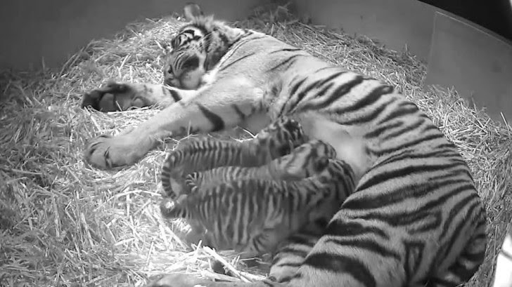 New baby cub arrivals boost endangered tigers species (VIDEO- PHOTOS)