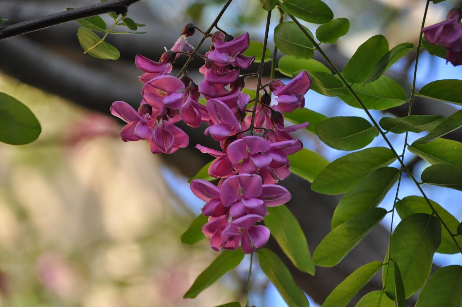 Cagliari in verde la robinia dai fiori rosa for Fiori bianchi profumati a grappolo