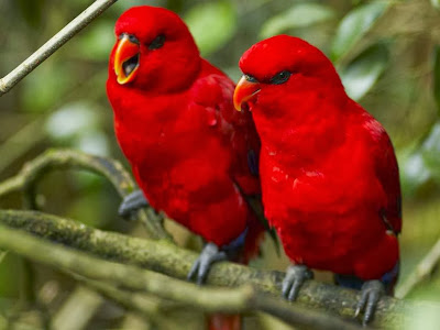 HD red Parot Birds wallpaper