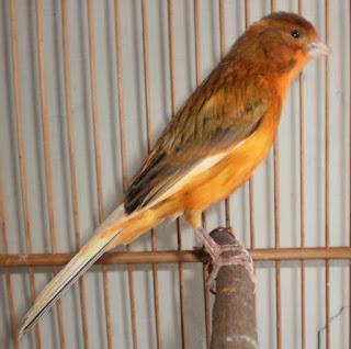 Burung Kenari - Solusi Penangkaran Burung Kenari -  Kode Ring Kenari Import Pada Negara Bosnia-Hercegovine