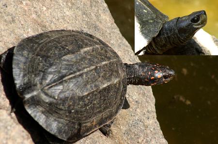 Black and Orange Turtle