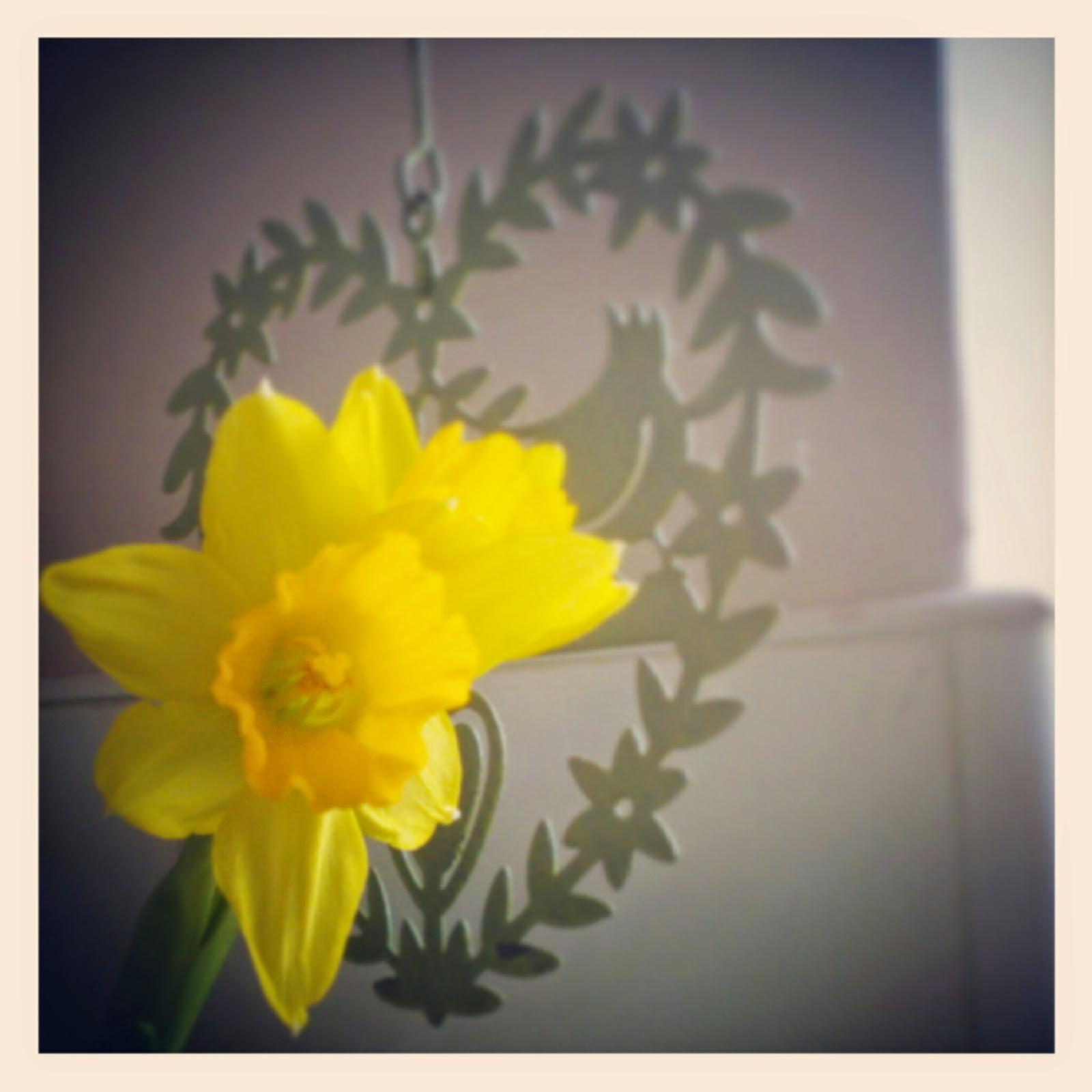 Imbolc daffodil