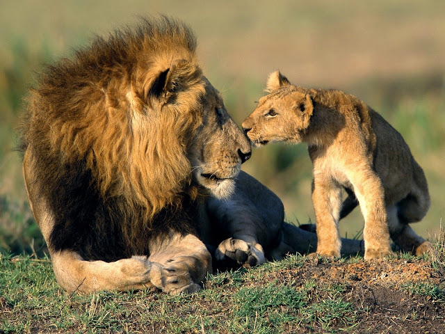 Love of Lion