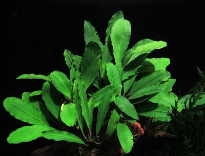 Картинки по запросу bucephalandra sp. gunung betung