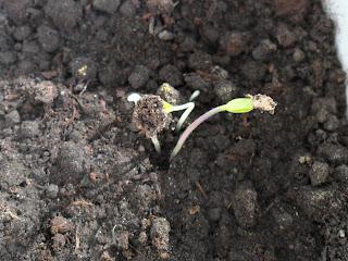 перцы  не сбросившие семенную оболочку