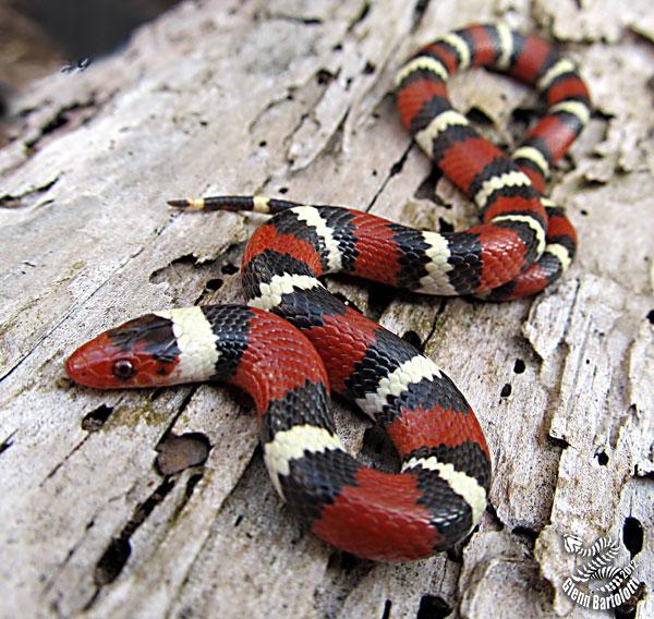 Scarlet King Snake, Batesian, Aposematism