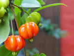 fruta pitanga