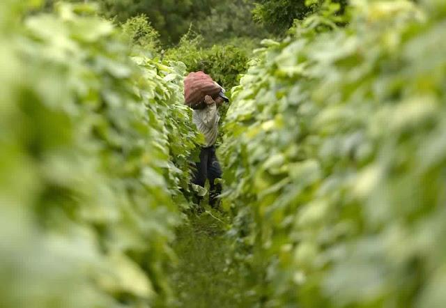 مزارع من السلفادور سعيد بحصاده