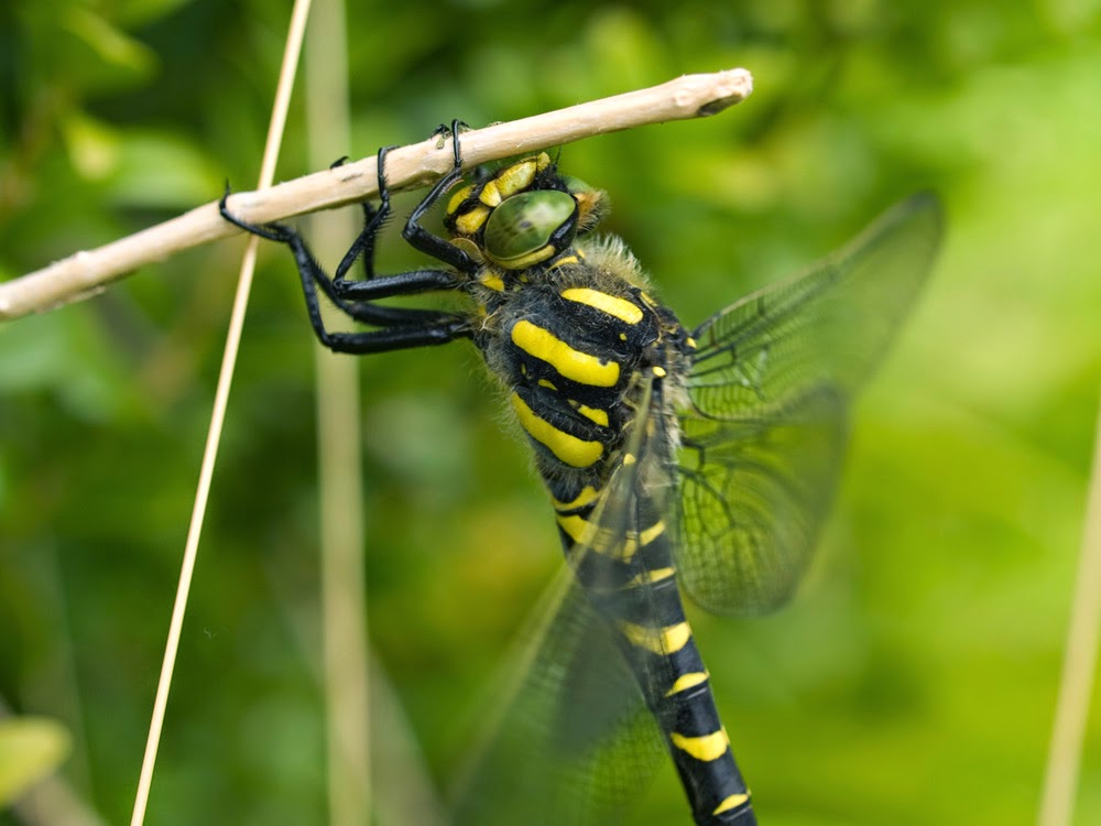 Golden-ringed Dragonfly Macro