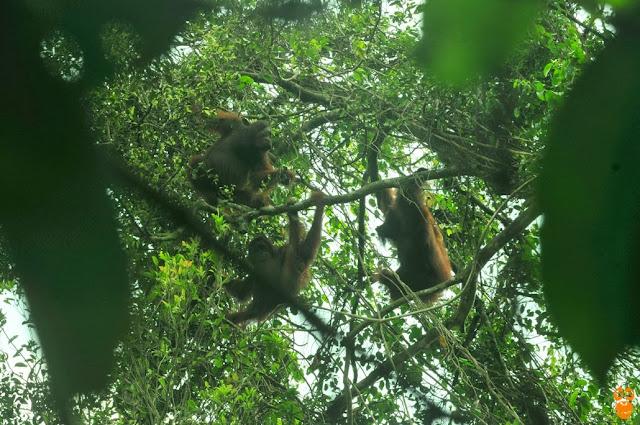 13 Orangutan Terjebak dan Terancam Mati Kelaparan