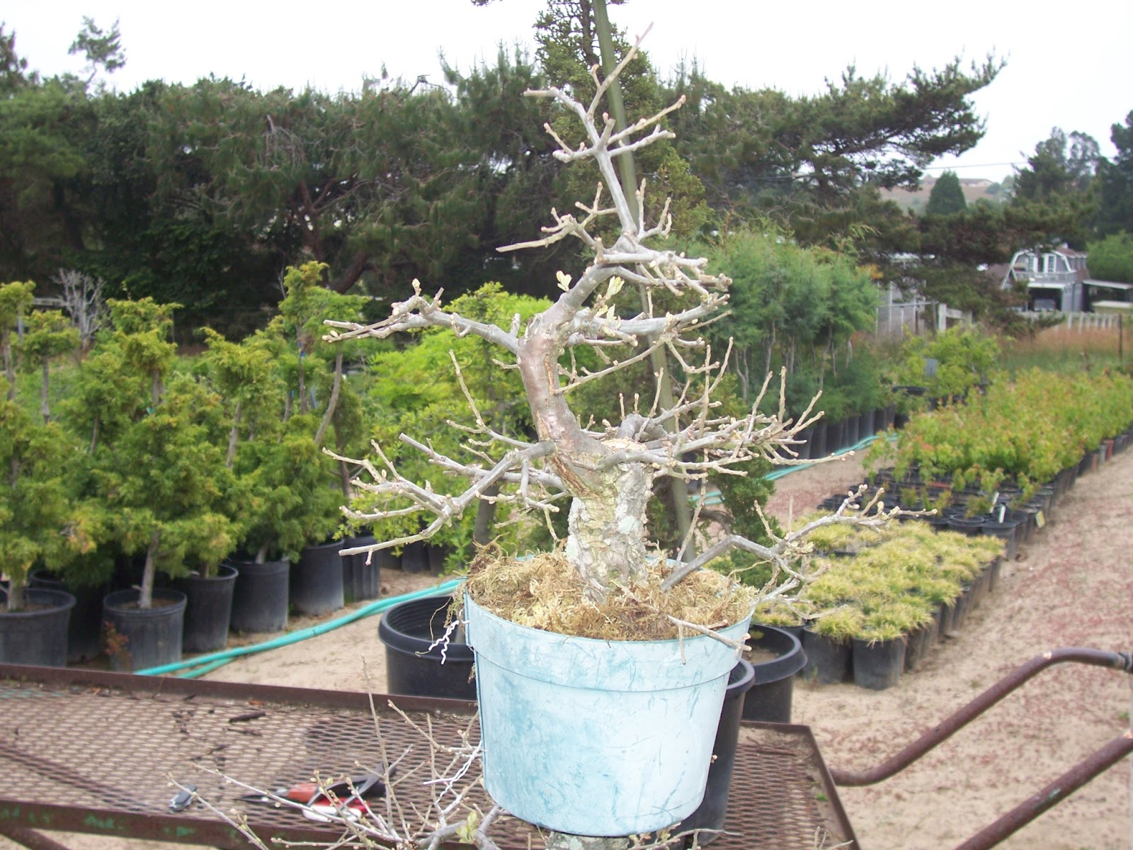 What39s Happening At Muranaka Bonsai Nursery Large Cork Oak Air