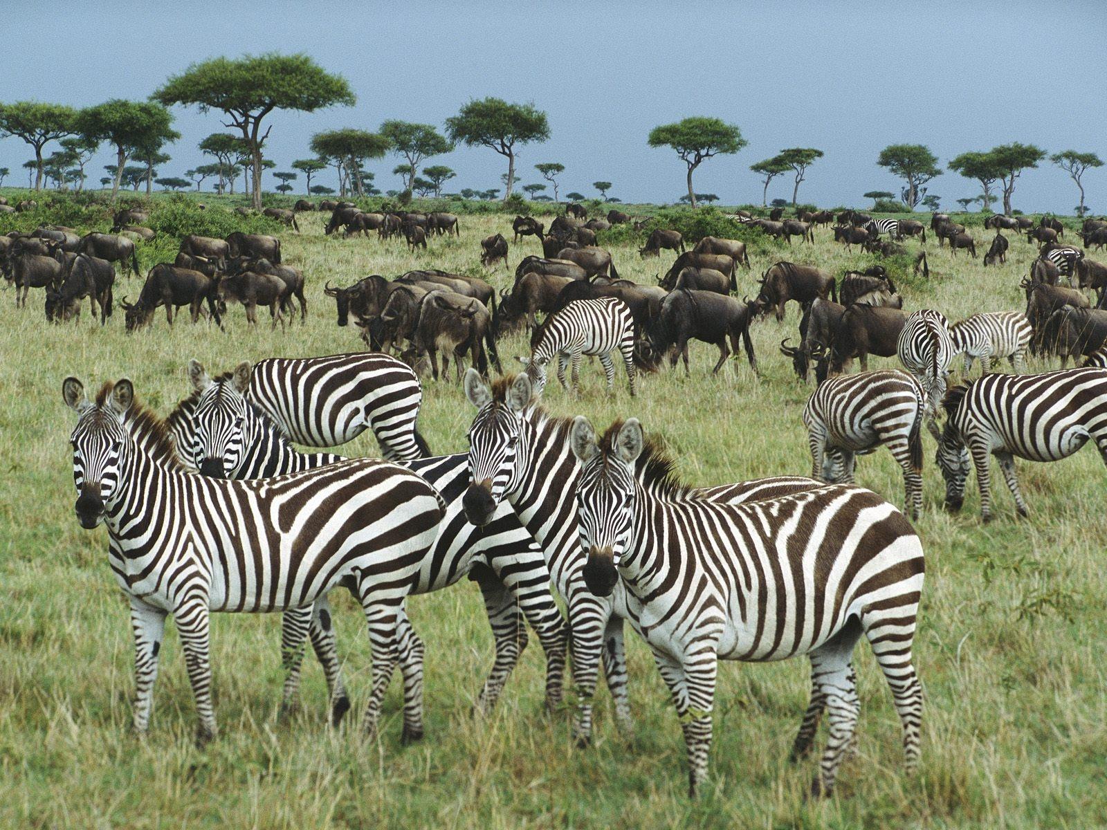 http://2.bp.blogspot.com/-P9xrwHKDiyI/Tz-At6JAEDI/AAAAAAAAMFw/IaiorrnGJLs/s1600/Zebra+12.jpg