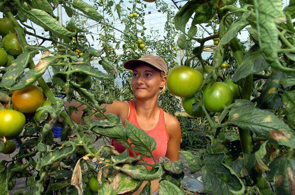 Todo sobre el tomate en canarias agamc for Asociacion de cultivos tomate