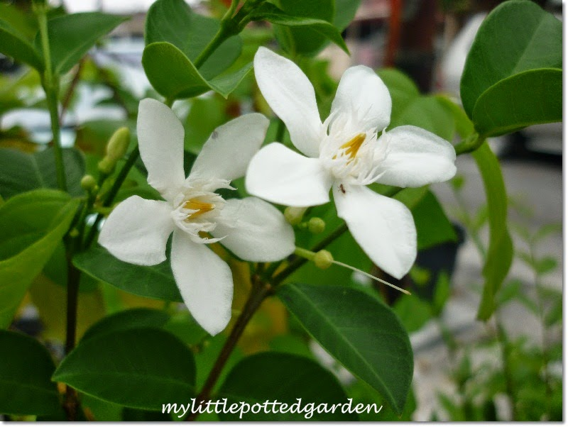 My little potted garden whats blooming right now i have no idea what this pretty flowers are called the white flowers are small with small orange yellow seed pods do you know the name of this plant mightylinksfo Image collections
