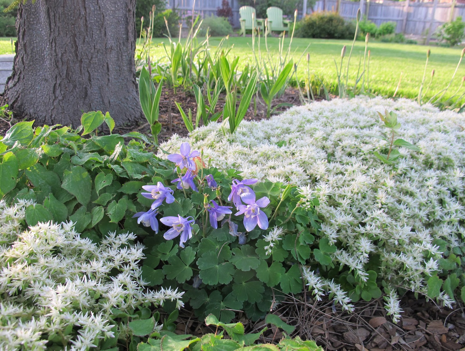 Today39s plant obsession aquilegia for Plants for garden